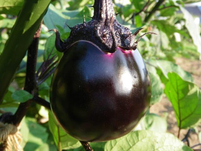 eggplant-select