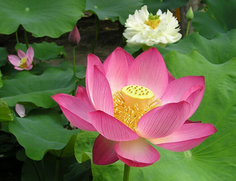 red-Lotus-flower